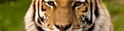 Глава Минприроды РФ призвал разобраться в ситуации со смертью тигра в США