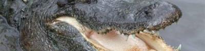 В Северной Каролине аллигаторы впали в спячку и вмерзли в лед
