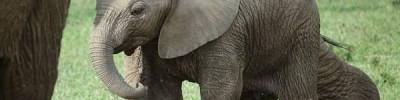 В сеть выложили видео, как экскаватор вытащил слоненка из ямы в Индии