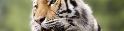 В Хабаровском крае неизвестные ранили тигрицу
