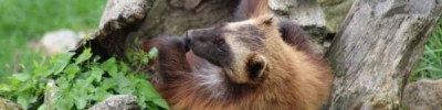 В Московском зоопарке появился на свет детеныш росомахи
