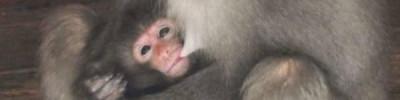 В Московском зоопарке родился детеныш японского макака