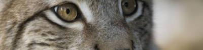 В зоопарке Уссурийска детеныша рыси выкормила кошка