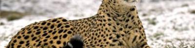 В Нидерландах на семью туристов во время сафари напали гепарды