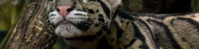 КНДР может подарить Московскому зоопарку дымчатого леопарда
