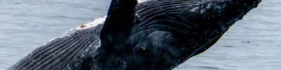 В Красном море впервые обнаружили синего кита