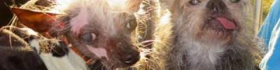 В США выбрана самая уродливая собака
