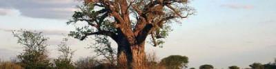 Древнейшие баобабы Африки массово вымирают — ученые