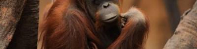 В Австралии скончался старейший орангутан планеты