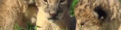 Пятеро львят родились в зоопарке Екатеринбурга