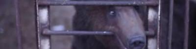 Неспящие в клетках. Что не так с медведями, живущими в кафе и ресторанах?