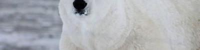 В Норвегии белый медведь объелся шоколада и застрял в окне