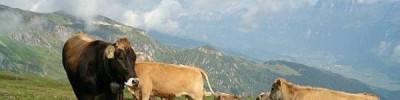 В швейцарских Альпах пожарные вертолеты доставляют воду коровам