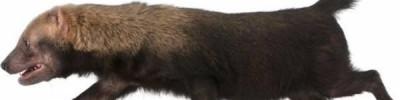 Подушечки кошачьи, а ступает по-медвежьи. Необычные животные Москвы