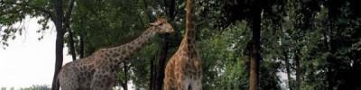 Жираф Самсон из Московского зоопарка отметил 25-летний юбилей