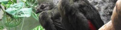 В Московском зоопарке впервые появились редкие птенцы турако