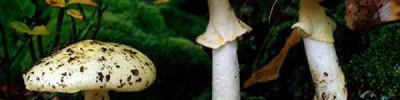 Съедобное-несъедобное. У каких грибов есть ядовитые двойники?