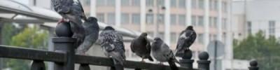 В Орле выявлена массовая гибель голубей
