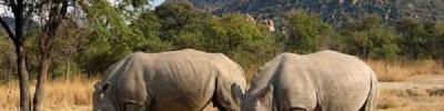 Китай снял действовавший 25 лет запрет на торговлю рогами носорога