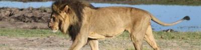Лев сожрёт твоё сердце. Как обозреватель «АиФ» работал рейнджером в Африке