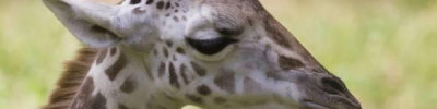 В зоопарке Белгорода умер жираф, переехавший из Калининграда