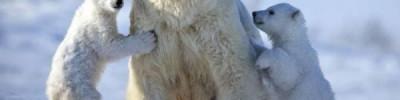 В России будет разработан стандарт поведения при встрече с белым медведем
