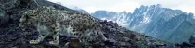 В Красноярск из Таджикистана привезли самку снежного барса