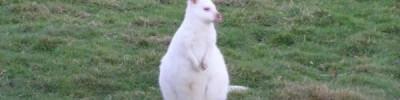 Во Франции на ферме родился редкий кенгуру валлаби-альбинос
