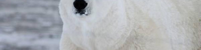 В Эстонии из-за раны усыпили привезенного из России белого медведя