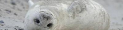 В океанариуме Мурманска выхаживают тюлененка, которого спасли моряки