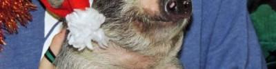 Маленькое свинство. В России растет спрос на минипигов