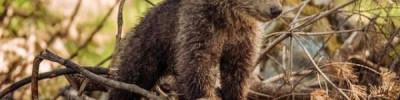 Спасенный на Камчатке медвежонок переедет в Калугу