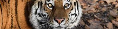 В «Парке тигров» прокомментировали информацию о «переезде» тигра Амура