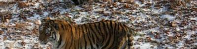 В вопросах передачи тигра Амура обнаружены нарушения