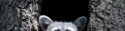 Из-за оттепели в Московском зоопарке проснулись еноты-полоскуны