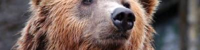 Власти Приморья ищут дом для четырех бурых медведей