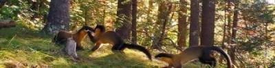Ученые в Приморье впервые сняли кадры из жизни семьи харзы в дикой природе