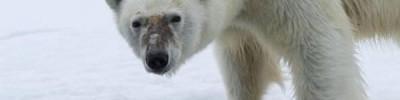 Ученые чипировали белых медведей на архипелаге Новая Земля