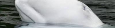 В прокуратуре сообщили о побеге трех белух из «китовой тюрьмы» в Приморье