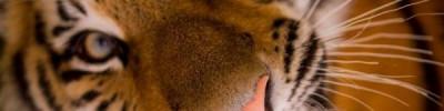 Власти Приморья хотят бесплатно передать тигра Амура сафари-парку