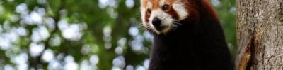 Из французского зоопарка пропала редкая красная панда