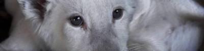 В крымском сафари-парке родились редкие белые львята