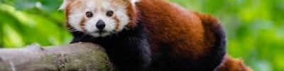 Волонтеры за 2 часа нашли красную панду, пропавшую 3 марта в регионе Овернь