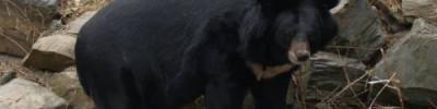 В барнаульском зоопарке родились двое гималайских медвежат