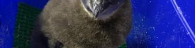В Московском зоопарке появился на свет птенец краснокнижного пингвина