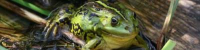В горах Индии нашли новый вид «звездных» лягушек