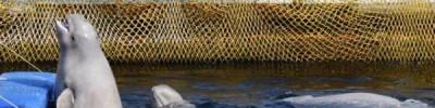 Часть животных из «китовой тюрьмы» могут отправиться в океанариумы