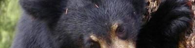 В Приморье спасенного гималайского медвежонка выпустили в тайгу