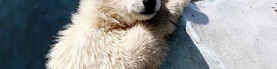 На Чукотке белого медвежонка-сироту вернули в дикую природу