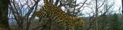 В России увеличилась популяция дальневосточных леопардов